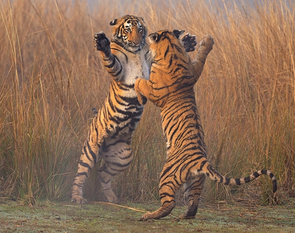 Bengal tiger (Panthera tigris tigris) 11 month cubs play fighting, Ranthambhore National Park, India.